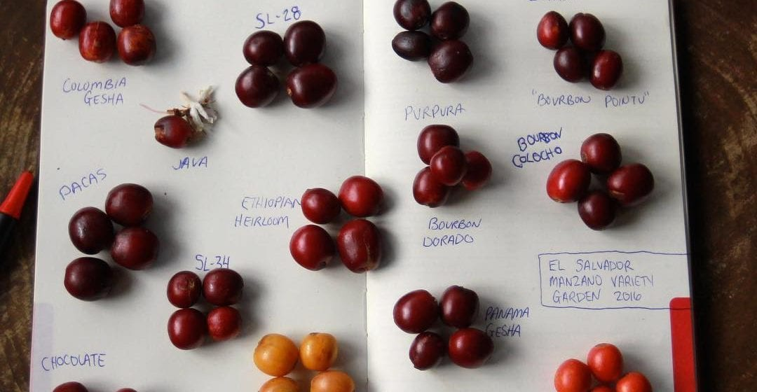 Coffee origin and varieties