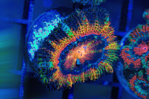 Acan (Rainbow in the Dark)