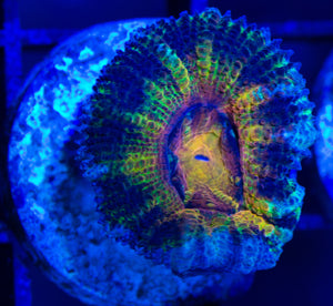 Acan (Rainbows in the Dark)