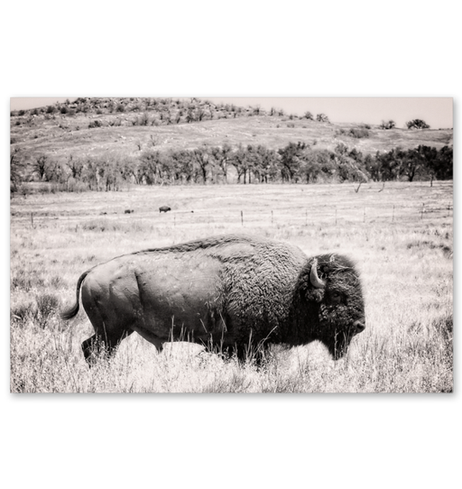 Buffalo I BW Wall Art <br>(55164)<br>