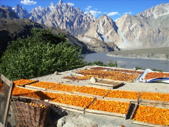 cases full of apricots in the hunza apricot kernel oil process on the himalayas