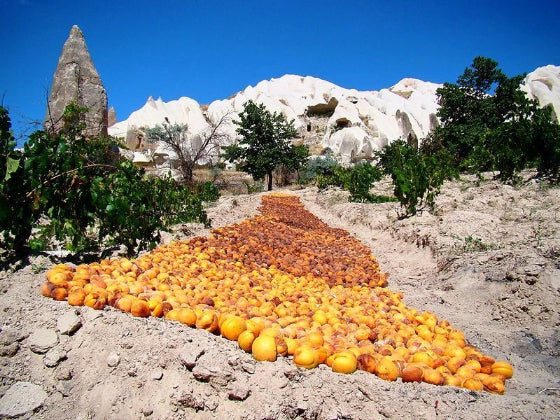 apricots laid on the himalayas in the process of making hunza apricot kernel oil