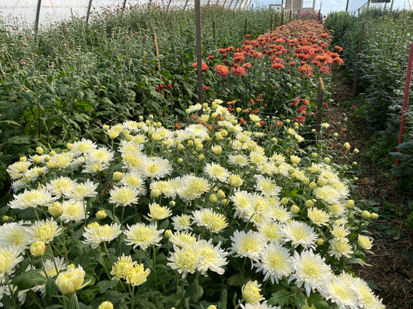 Assorted Heirloom Mums at Your Door- Shipping