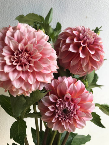 Dahlia Peaches N Cream