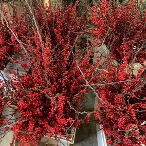 Winterberry (Red Ilex)