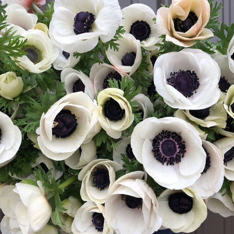 Anemone Corms-Panda (white)