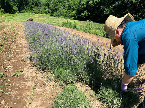 Fresh Lavender at your Door - Shipping