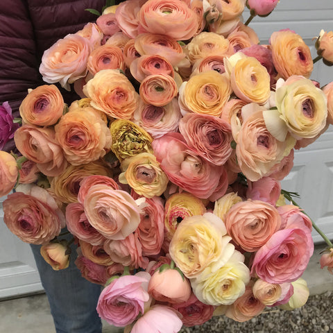 Ranunculus Corms-Pastel Mix