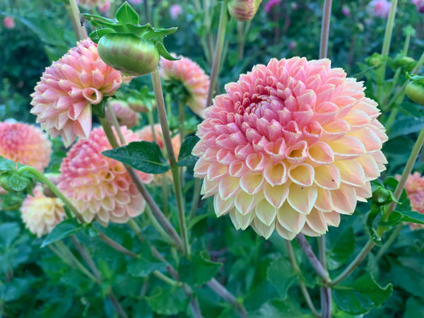 Dahlia Suncrest