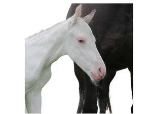 Lethal White Foal Syndrome - LWFS