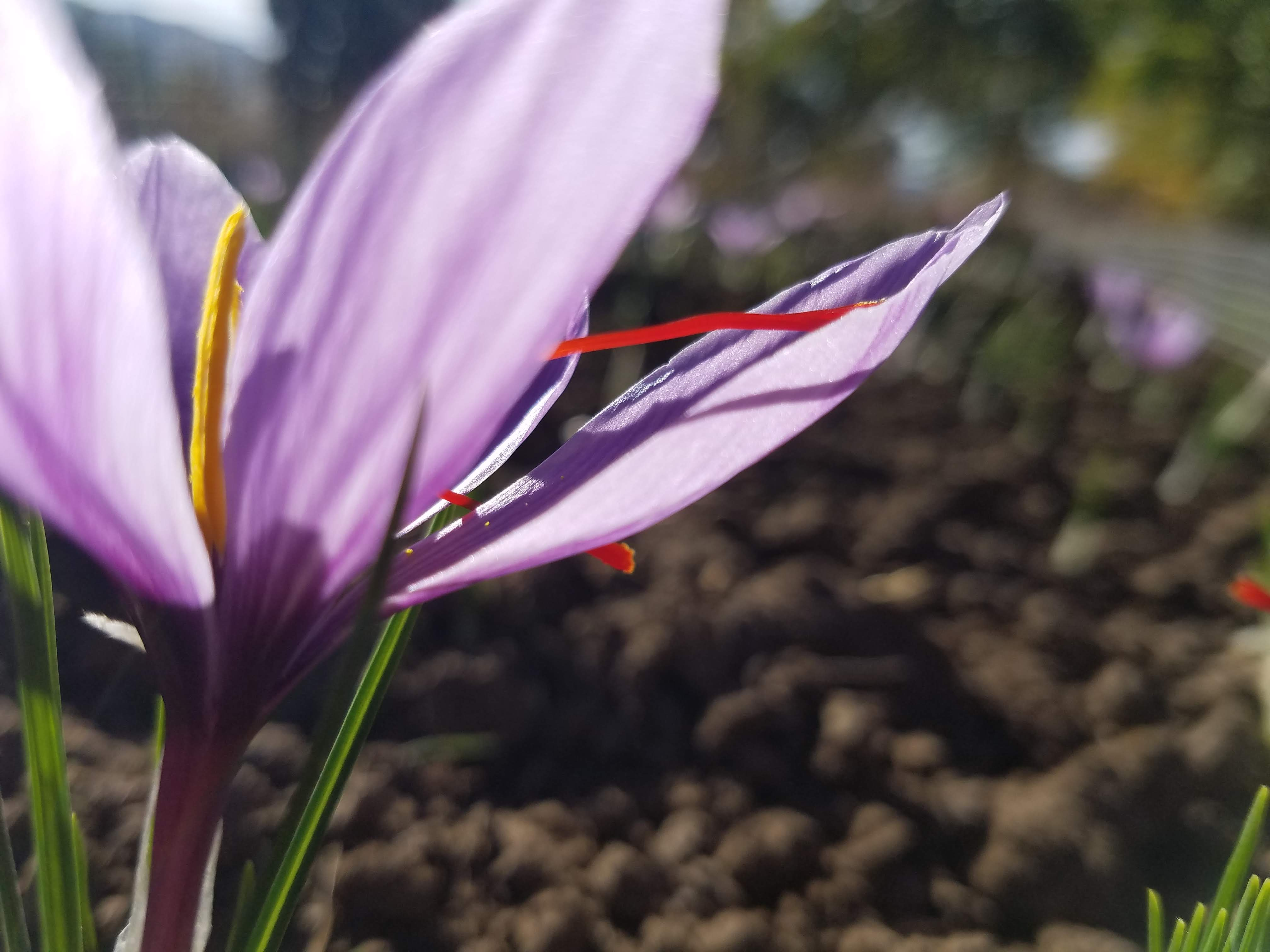 Saffron Not Just A Mood Booster Peace And Plenty Farm