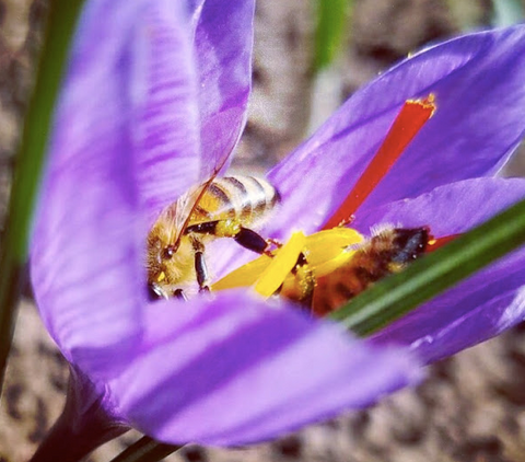 saffron and bees