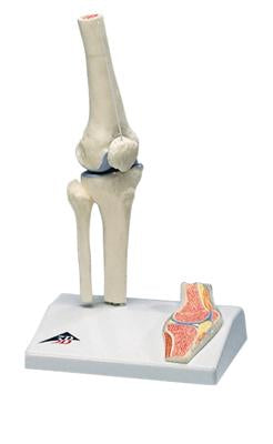 3B Scientific Anatomical Model - mini knee joint with cross section of bone on base - Includes 3B Smart Anatomy