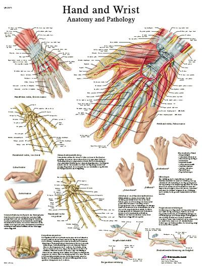 Anatomical Chart - hand & wrist, sticky back