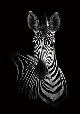 Frontal-Zebra Black and White Animal Canvas Print Collection
