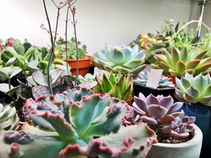 caring for succulents in singapore