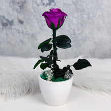 Plante de Rose (Hyderabad Only)