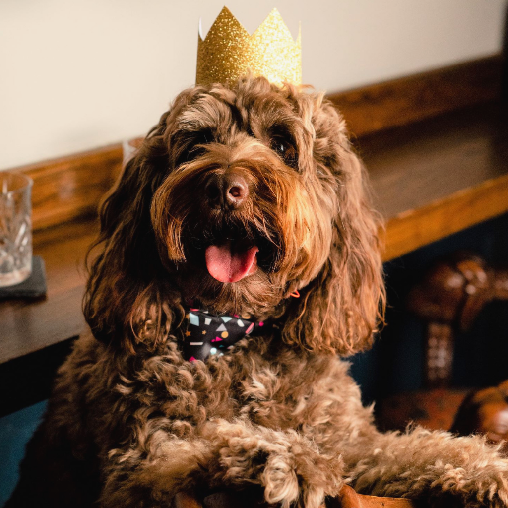 Cockapoo in confetti bow tie and crown