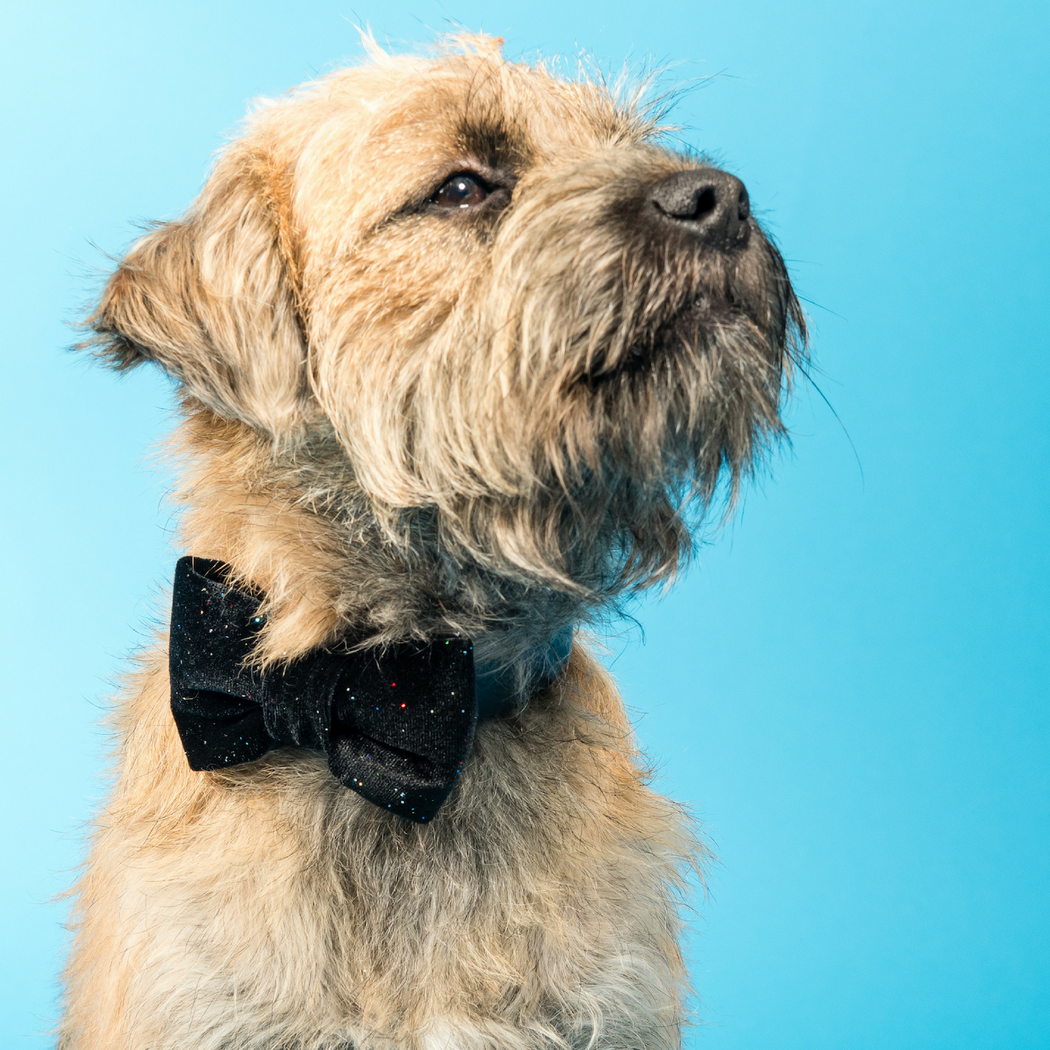 Boarder terrier wearing black velvet and glitter bow tie
