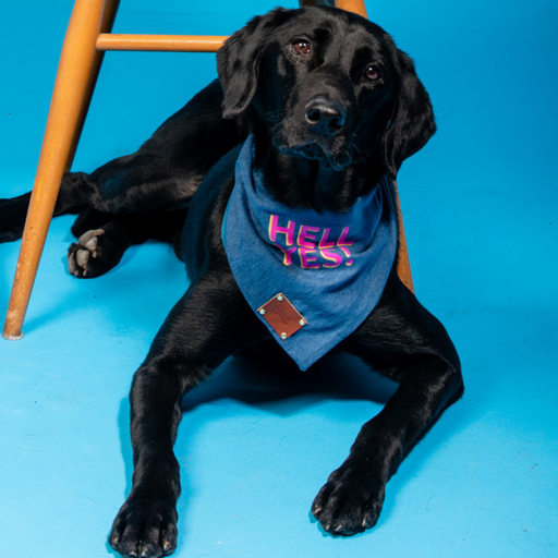 Black Labrador wearing Hell Yes bandana
