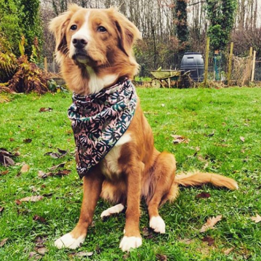 Duck toller wearing palms and cheese neckerchief