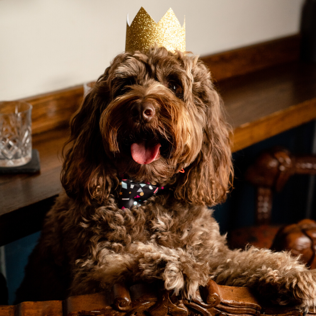 Cockapoo wearing a crown