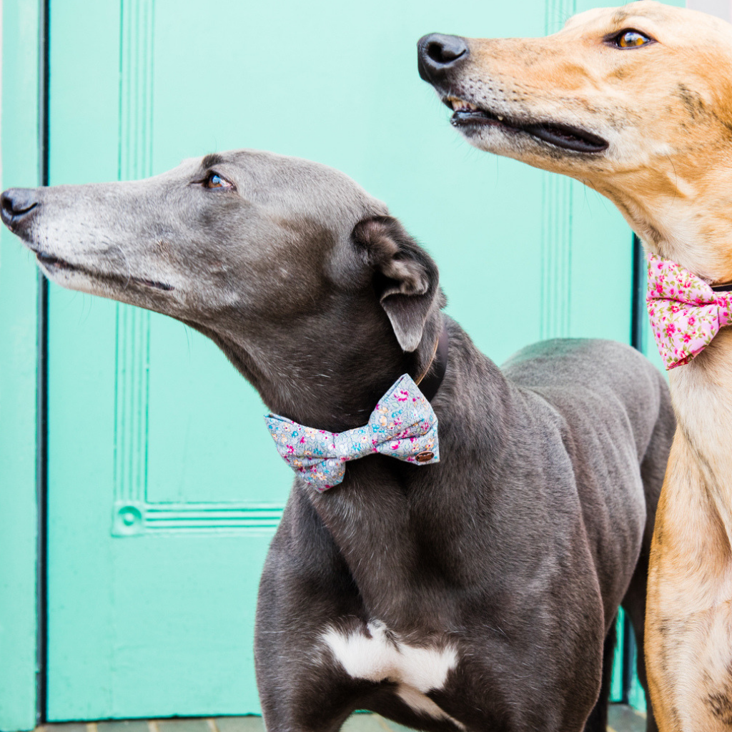 Greyhound wearing grey floral bow tie