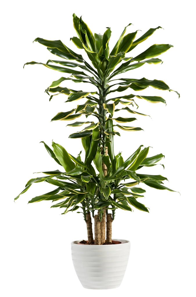 anatomé - Dracaena 'Dragon Tree' Plant