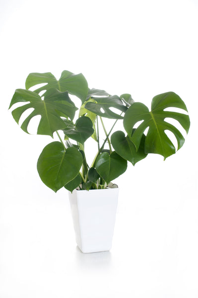 anatomé - Monstera Plant