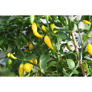 Aji Lemon Drop (Hot Lemon) Chilifrø