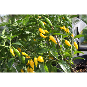 Forhåndsbestill Aji Lemon Drop (Hot Lemon) chiliplante