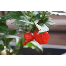Isolerte Carolina Reaper chilifrø