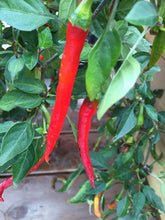 Cayenne Long Slim chilifrø