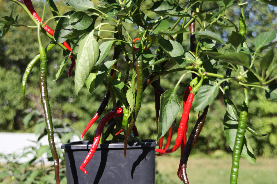 Joe's Long Cayenne chilifrø