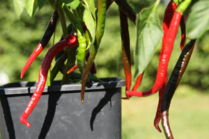 Forhåndsbestill Joe's Long Cayenne chiliplante