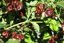 Forhåndsbestill Scotch Bonnet Chocolate chiliplante