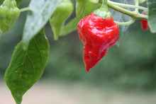 Jamaican Red chilifrø