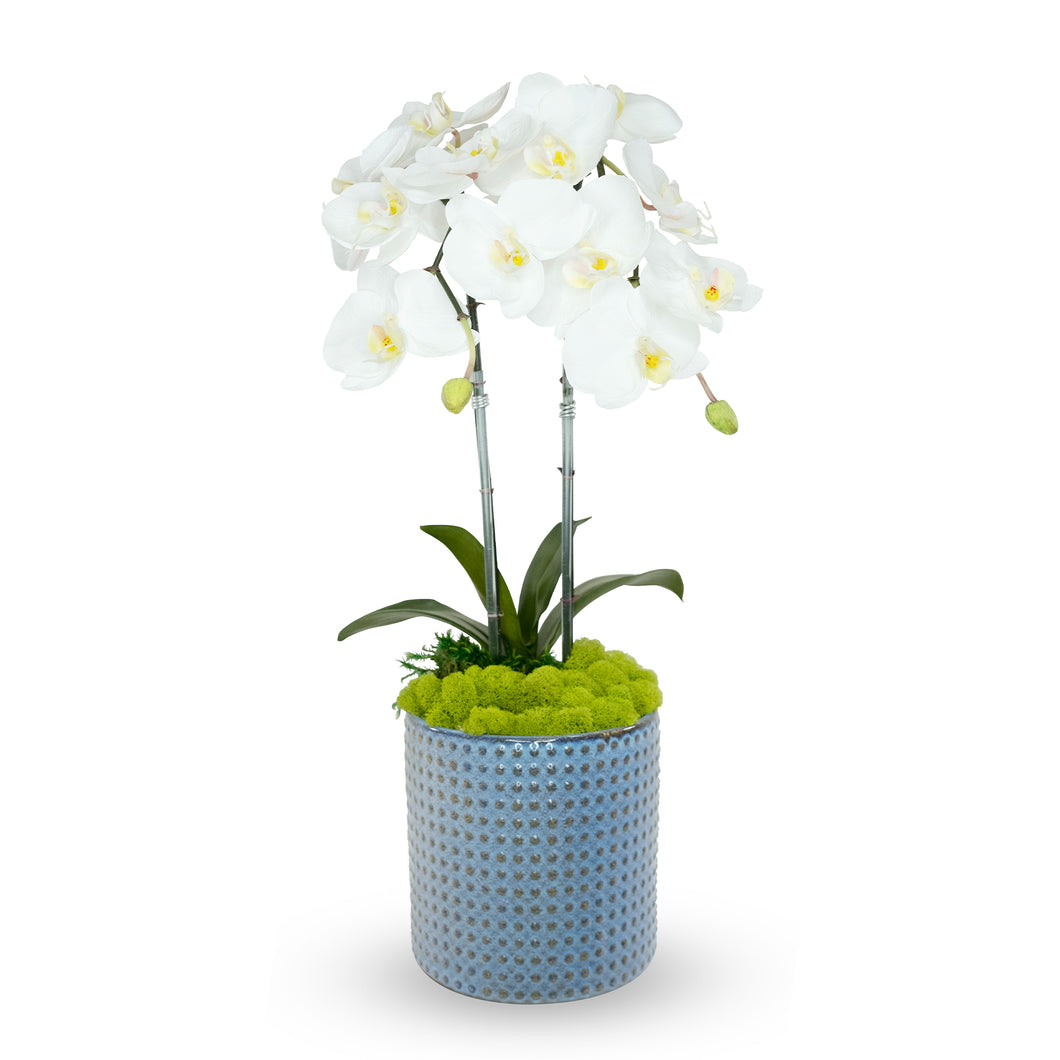 Double White Orchid In Blue Ceramic Pot