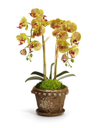Double Orchid in Old World Pot