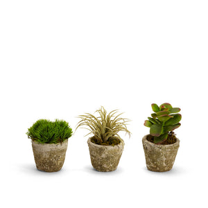 Succulents in Small Pots - Set of 3