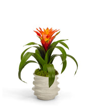 Load image into Gallery viewer, Bromeliad in White Wavy Pot