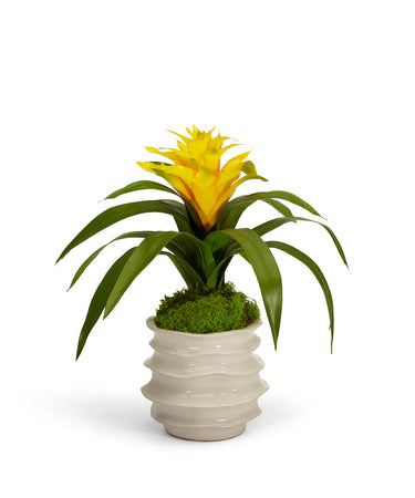 Bromeliad in White Wavy Pot