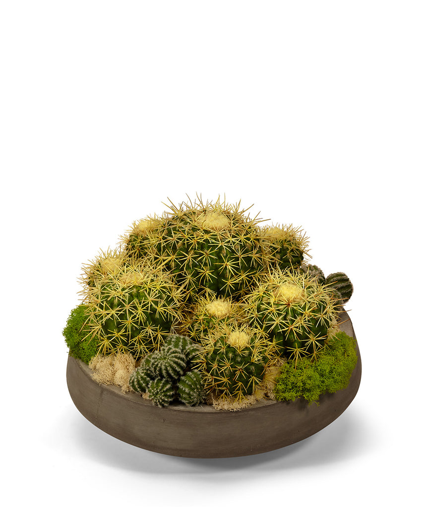 Barrel Cactus in Large Concrete Bowl