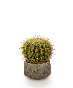 Barrel Cactus in Clay Container