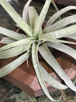 Air Plant on Square Wooden Planter