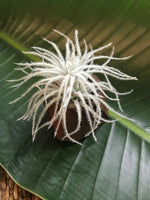 air plant tectorum
