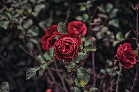 How to grow roses: a guide by Walnut Creek Gardens