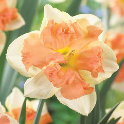 Apricot Whirl Butterfly Daffodil