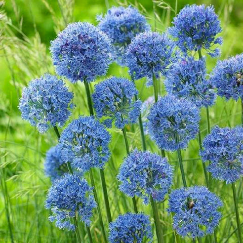 Azure Allium - Walnut Creek Gardens