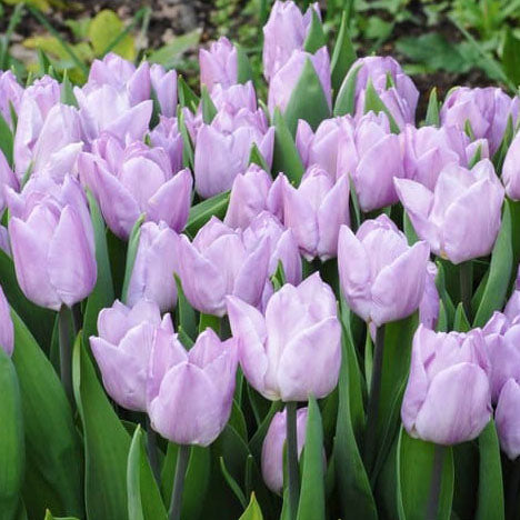 Tulip Candy Prince - 8 bulbs